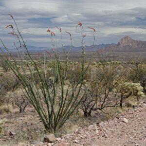 Sonoran Roadside Ocotillo Blooms